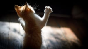 CAN'T TOUCH THIS! - This perfectly playful kitten was caught on film by former photojournalist-turnedpet photographer Steve Schaefer.