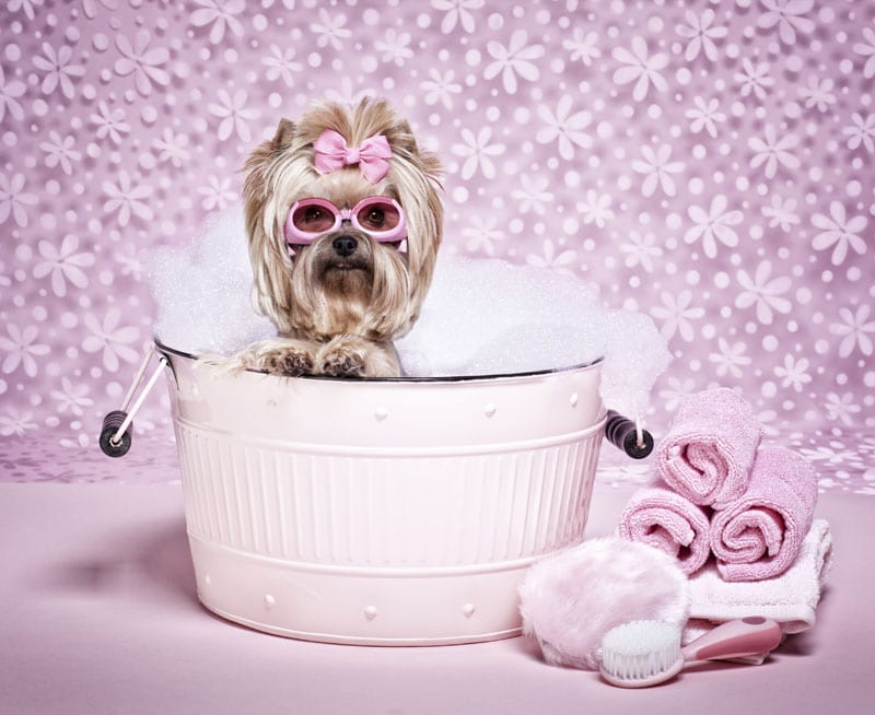 Yorkie in a bubble bath