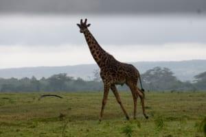 An inquisitive male giraffe in Arusha National Park.