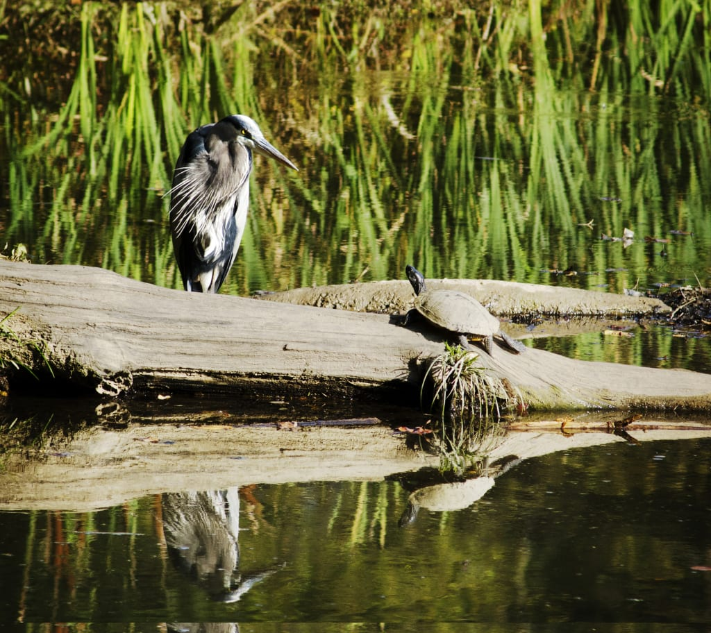 A blue heron and a turtle enjoy a sunny day at Blue Heron Nature Preserve in the heart of Buckhead.