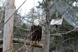 The Chattahoochee Nature Center's bald eagle feedings are available for the public to watch.
