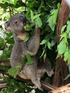 At Lone Pine Koala Sanctuary you can get up close and personal with the koalas.