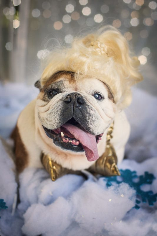 JUSTIFY MY LOVE - Endlessly creative photographer Kristen Alexander shoots Buckhead bulldog Trixie as Madonna.