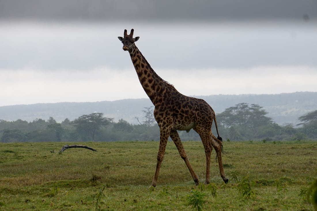 An inquisitive male giraffe in Arusha National Park.