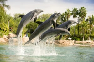 Trained dolphins not only perform cool tricks, they also give visitors a quick ride through the water.